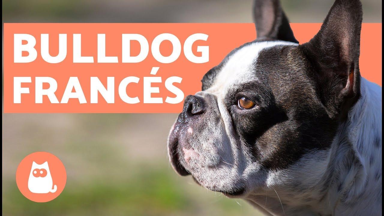 El Bulldog Francés Características Y Cuidados Youtube