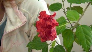 Цветение гибискуса (китайской розы)(Пересадку и обрезку гибискуса я проводила в феврале https://youtu.be/BTr45-A3W7U. По прошествии двух месяцев можно посмо..., 2015-04-13T22:38:38.000Z)