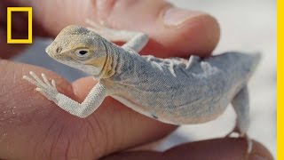 Why These Cute Little Lizards Are Changing Colors to Survive | National Geographic