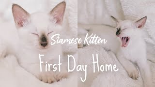 Siamese Kitten's First Day In the House! | Yoko's World