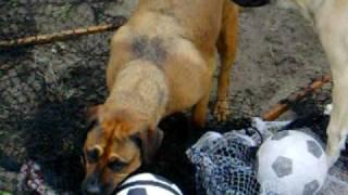 English Mastiff Puppy And Bullmastiff X Rottweiler Playing 2