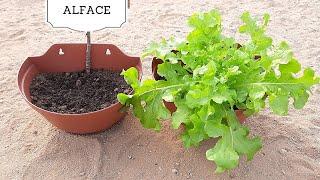 Em 1 Minuto Você Planta Alface em Casa