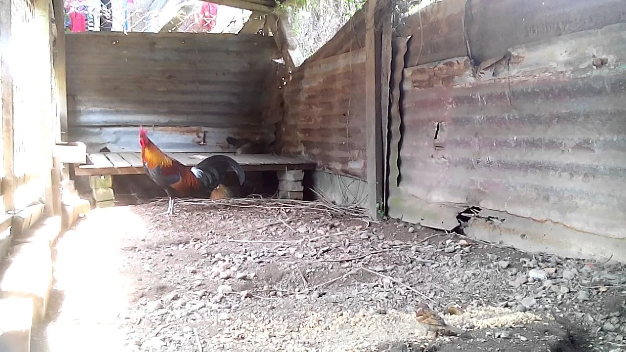 65+ Gambar Ayam Hutan Papua Terbaik