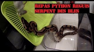 "Repas de mes serpents : Python Reguis ""Royal""/ Pantherophis Guttatus "" Serpent des blés """