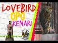 Kenari Isian Lovebird Ngekek  Mp3 - Mp4 Download
