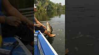 Feeding and petting a crocodile in Brazil