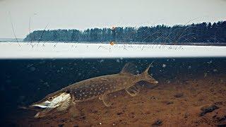 Рыбалка с Жаком! АТАКА ЩУКИ НА ЖИВЦА! Подлёдное видео. Зимняя рыбалка на Жерлицы