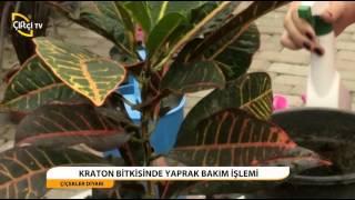 ÇİÇekler Dİyari - Kraton Bİtkİsİ