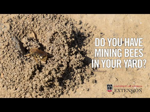 Do You Have Mining Bees In Your Yard?
