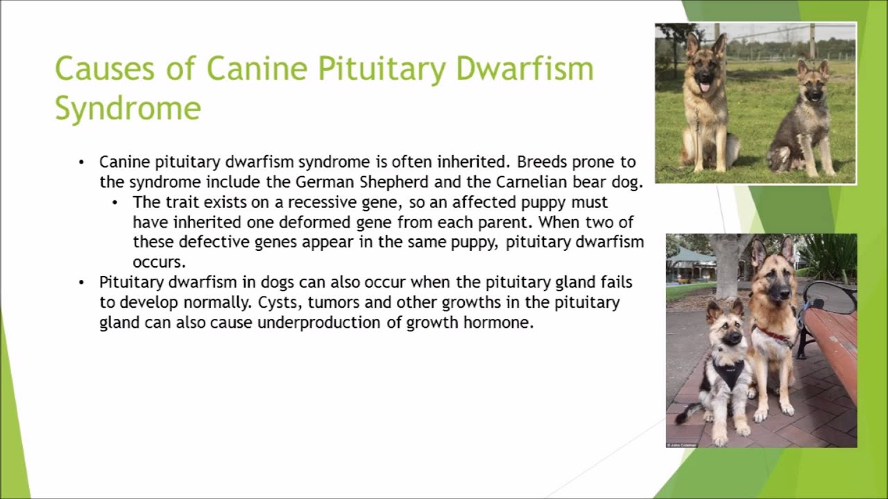 als 2304 lab disease presentation canine pituitary dwarfism