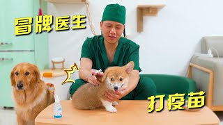 The owner pretended to be a veterinarian to vaccinate little Corgi himself