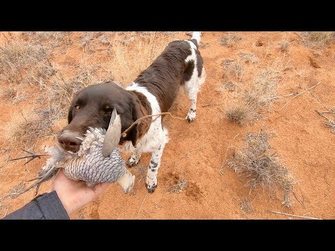 Blue Quail Hunting Run & Gun 👉 Eastern New Mexico 🌵 Gould Brothers VLOG