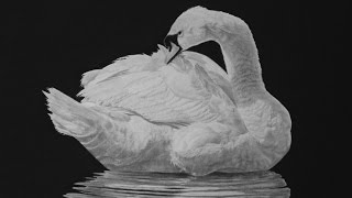 Photorealistic Swan Timelapse 4K/ how to draw a swan
