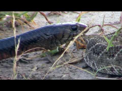snake battle