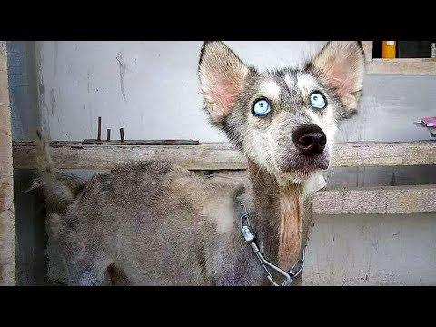 Jeder schaute dem Husky zu, wie er immer mehr zum Skelett wurde – 10 Monate später das Unfassbare!