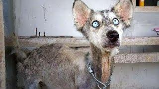 Jeder schaute dem Husky zu, wie er immer mehr zum Skelett wurde - 10 Monate später das Unfassbare!