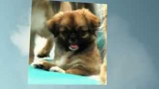 SEE MORE about the Tibetan Spaniel: http://obedient-dog.net/dog-bre...