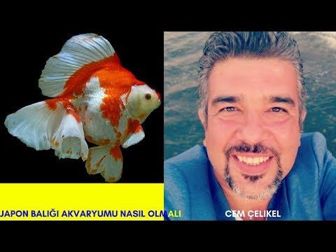 JAPON BALIĞI AKVARYUMU NASIL OLMALI( Japon Balığı Bakımı,Japon Balığı Akvaryum Kurulumu Üretimi)