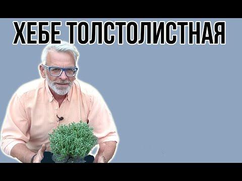 Хебе толстолистная / Посадка и уход / Игорь Билевич