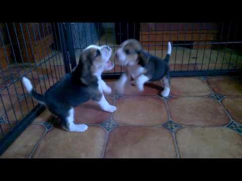 """Beagle szczeniaki w wieku 4 tyg miot """"I"""""""