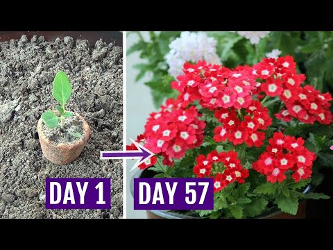 How To Grow Verbena Plant With All Care Tips - Complete Guide