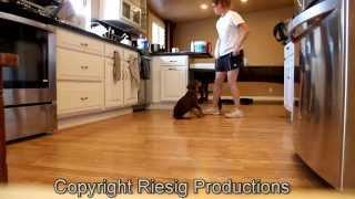 Doberman Puppy In Training: Sansa