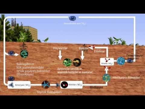 Ekosistemler - Azot Döngüsü