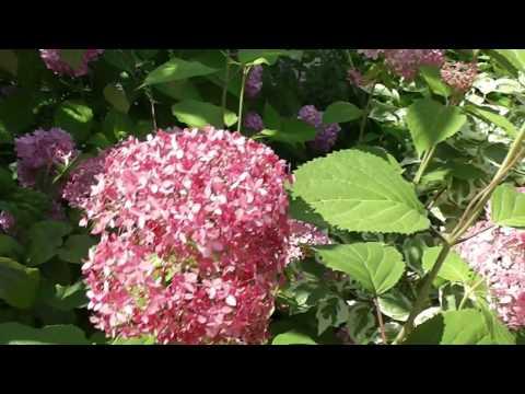 Часть1 2013г  Цветение гортензии древовидной розовой ''Annabelle''