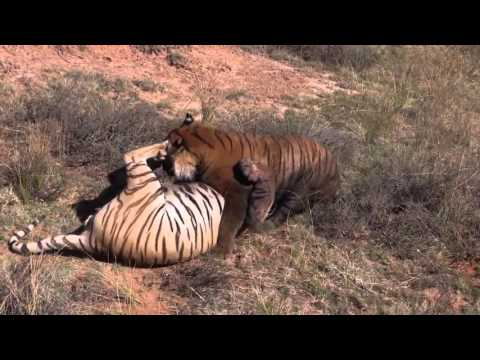 Wild Tigers Fight In Tiger Canyons, South Africa