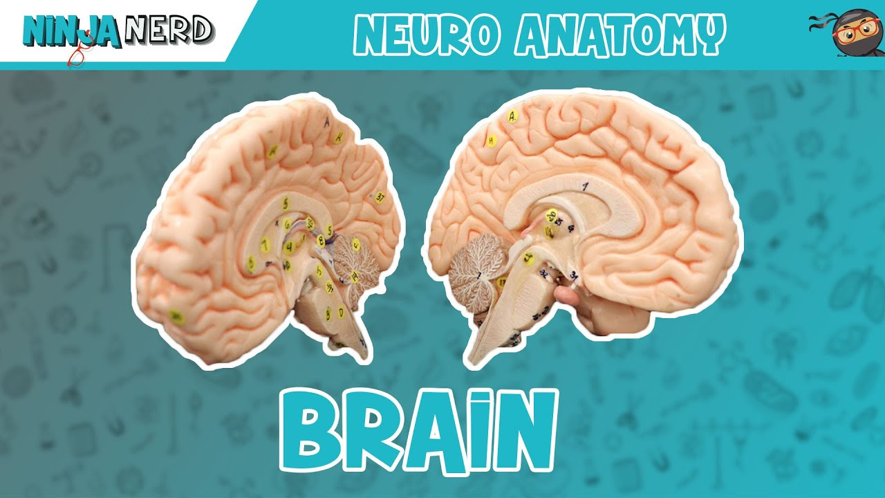 Anatomy of the Brain - YouTube