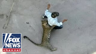 WILD video: Leopard attacks residents in Indian city thumbnail