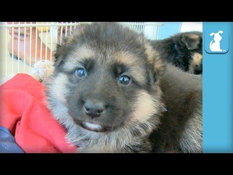 german-shepherd-puppies-sleeping-is-the-cutest---puppy-love