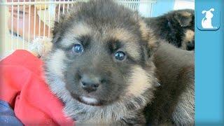 German Shepherd Puppies Sleeping is the CUTEST - Puppy Love