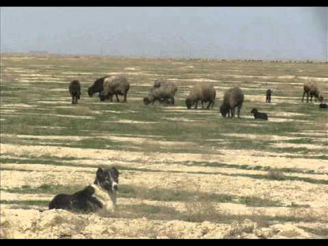 CENTRAL ASIAN OVCHARKA TURKMENISTAN - Alabai in the Karakum Desert
