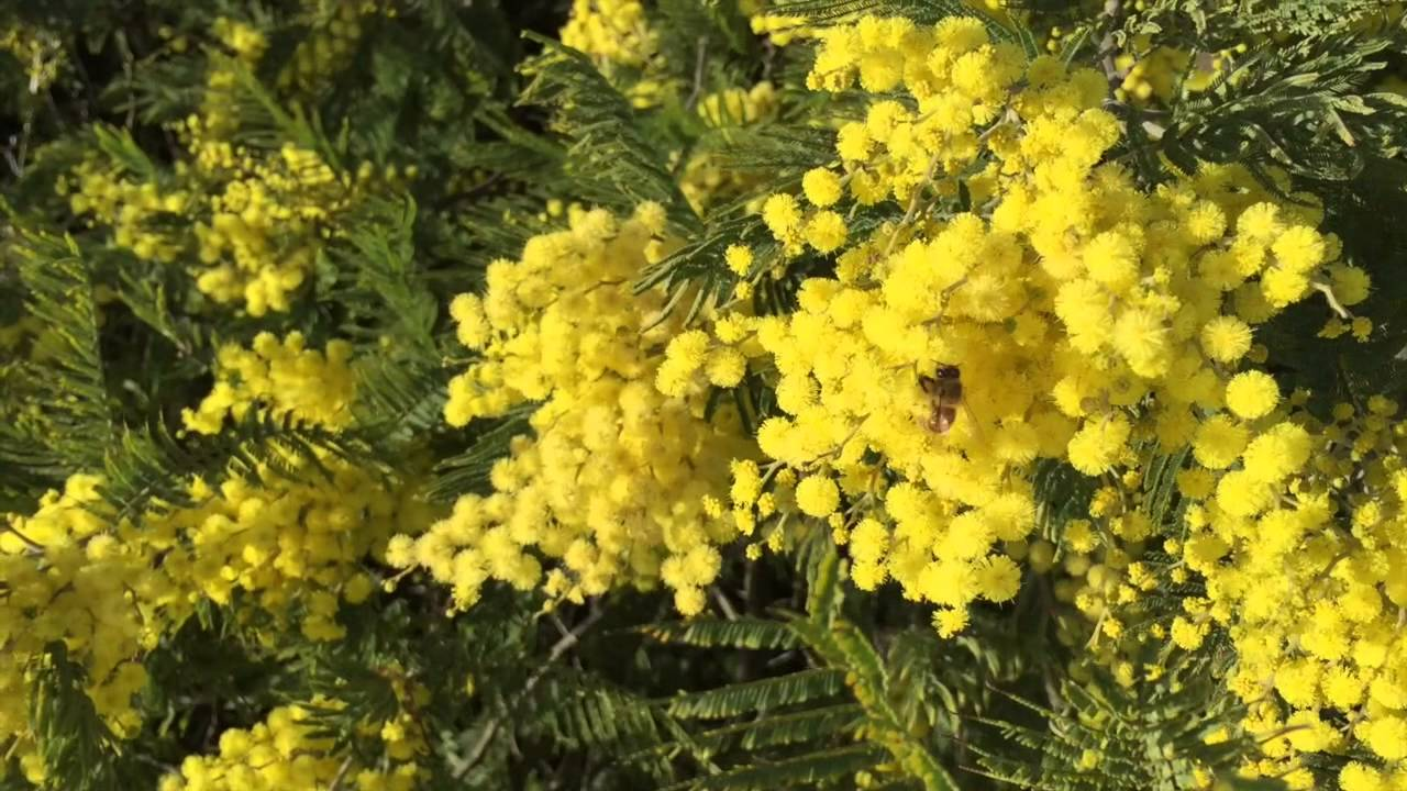 Honey Bees Foraging On Acacia Trees Youtube
