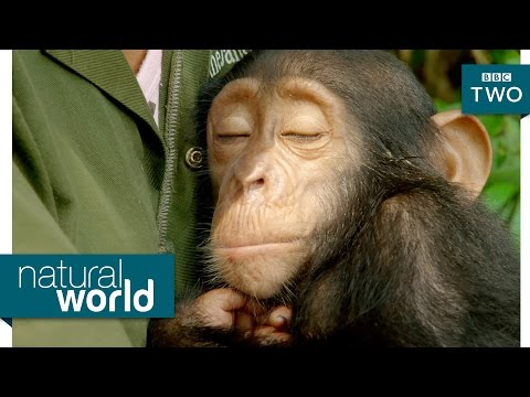 Orphaned baby chimp bonds with carers - Natural World: My Congo Preview - BBC Two
