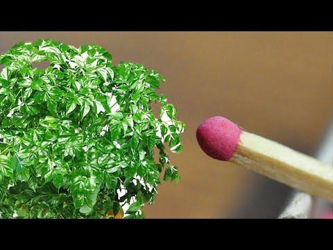 Зачем цветоводы помещают спички в цветочные горшки?