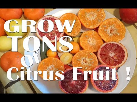 How to GROW TONS of Citrus Oranges Lemons Cocktail Grapefruit in Woodchips