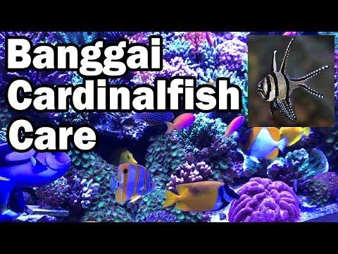 Banggai Cardinalfish Care - How To Grow Your Coral Reef Fish Tank