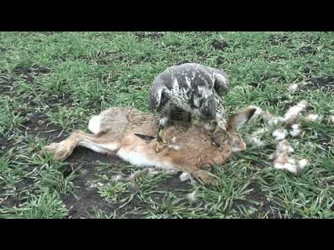 falcon hunting on hare youtube