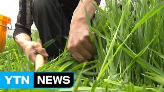 건강식품 농산물 부가가치 수십 배 껑충 / YTN