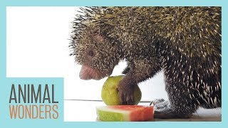 Porcupine Eats Fruit