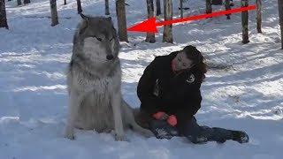 Волк вышел из леса и сел рядом с девушкой , все замерли в ожидания