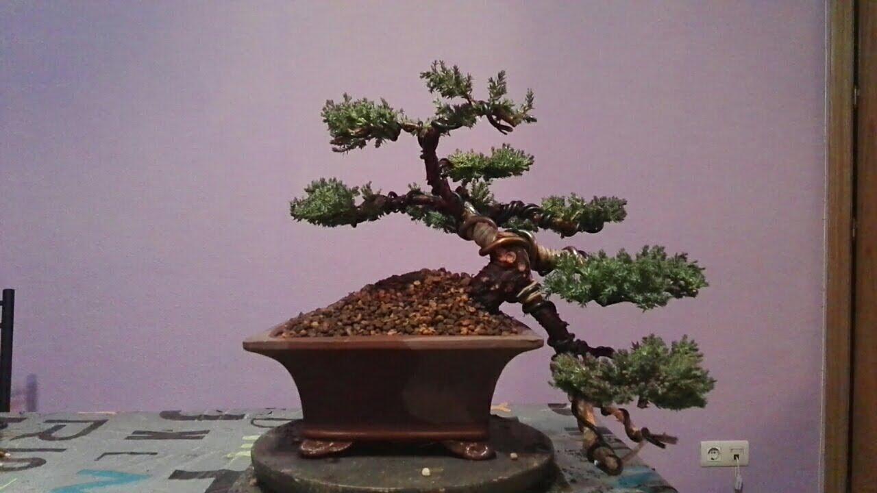 como hacer un bonsai desde un junípero de vivero (primera