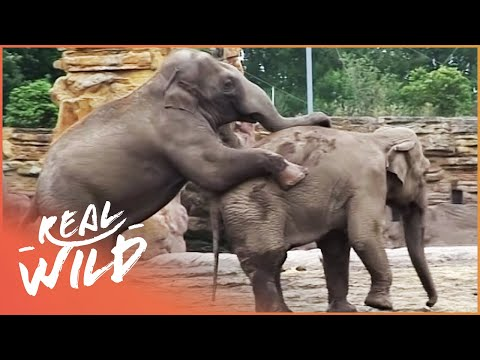 Amazing Elephants Mating At The Zoo   Zoo Days   Real Wild