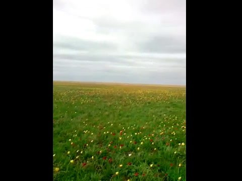 Офигительное поле тюльпанов в Волгоградской области!!!!