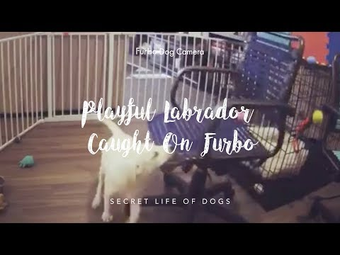 playful-labrador-caught-on-furbo-|-furbo-dog-camera