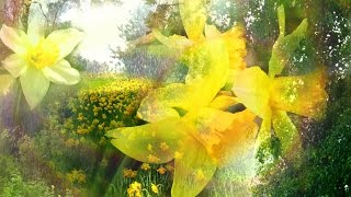 """""""Waltz of the Daffodils"""" by Rebecca Tripp (Remastered)"""