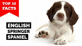 English Springer Spaniel  Top 10 Facts