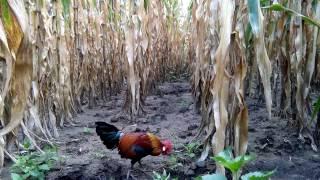 memikat ayam di kebun jagung part3